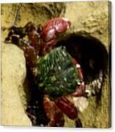 Tide Pool Crab 2 Canvas Print