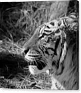 Tiger 2 Bw Canvas Print