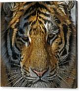 Tiger 5 Posterized Canvas Print