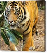Tiger Approaching Canvas Print