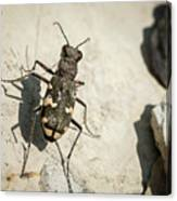 Tiger Beetle Looking For Prey On A Stone Canvas Print