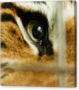 Tiger Behind Bars Canvas Print