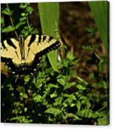 Tiger Butterfly Posing Canvas Print