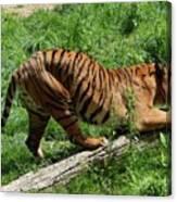 Tiger Clawed Canvas Print