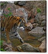 Tiger Crossing Poster Canvas Print