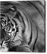 Tiger Eyes White Canvas Print