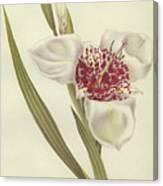 Tiger Flower   Tigridia Pavonia Alba Canvas Print