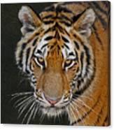 Tiger Hunting Canvas Print