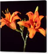 Tiger Lily Flower Opening Part Canvas Print