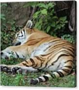 Tiger- Lincoln Park Zoo Canvas Print