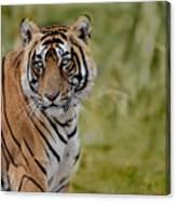 Tiger Look Canvas Print