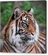 Sumatran Tigress Portrait  Canvas Print
