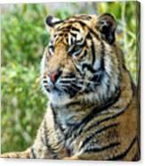 Tiger On Guard Canvas Print