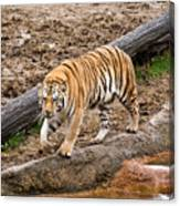 Tiger On The Prowl Canvas Print