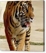 Tiger Pacing Canvas Print