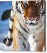 Tiger Strut Canvas Print