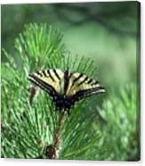 Tiger Swallow Tail Canvas Print