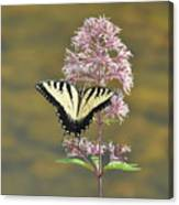 Tiger Swallowtail Butterfly On Common Milkweed 1 Canvas Print
