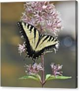 Tiger Swallowtail Butterfly On Common Milkweed 2 Canvas Print