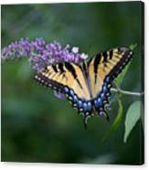 Tiger Swallowtail Female On Butterfly Bush Flowers Canvas Print