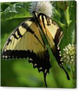 Tiger Swallowtail On Button Bush Canvas Print