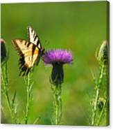Tiger Swallowtail On Thistle Canvas Print