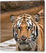 Tiger Wading Stream Canvas Print