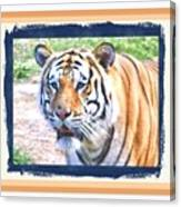 Tiger With Border Canvas Print