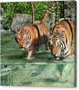 Tiger's Water Park Canvas Print