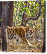 Tigress Walking Through Sal Forest In Pench Tiger Reserve  India Canvas Print