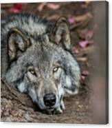 Timber Wolf Picture - Tw286 Canvas Print