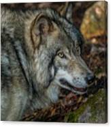 Timber Wolf Picture - Tw417 Canvas Print