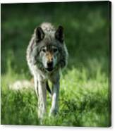 Timber Wolf Picture - Tw69 Canvas Print