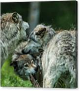 Timber Wolf Picture - Tw70 Canvas Print