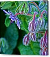 Tiny Blue Flower On A Bush At Pilgrim Place In Claremont-california  Canvas Print