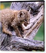 Tiny Bobcat Kitten Canvas Print