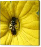 Tiny Insect Working In A Cucumber Flower Canvas Print