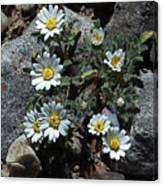 Tiny White Flowers In The Gravel Canvas Print