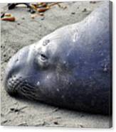 Tired Seal Canvas Print