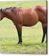 Tired Horse Canvas Print