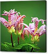 Toad Lilies Canvas Print