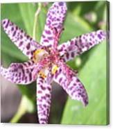 Toad Lily Canvas Print