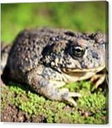 Toad You So Canvas Print