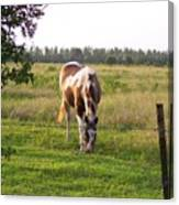 Tobiano Horse In Field Canvas Print
