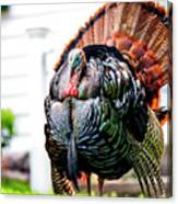 Male Turkey Canvas Print