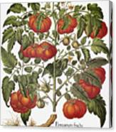 Tomato, 1613 Canvas Print