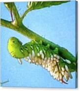 Tomato Hornworm Canvas Print