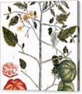 Tomato Plant, 1735 Canvas Print