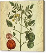 Tomato Plant Vintage Botanical Canvas Print