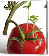 Tomato Seedlings Sprouting Canvas Print